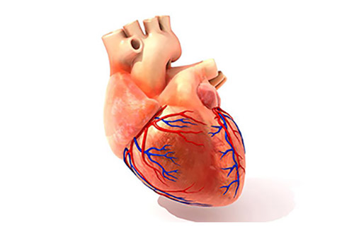 illustration of heart & arteries
