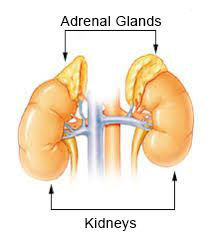 illustration of adrenal glands & kidneys