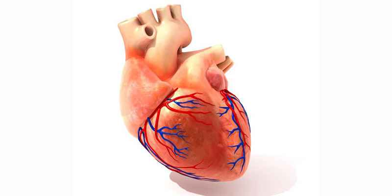 heart with arteries
