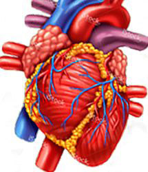 ilustration of heart & arteries
